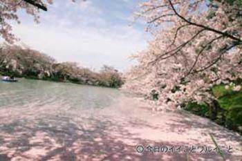 Hirosakisakura_2